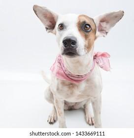 Animal Pet Dog white background
