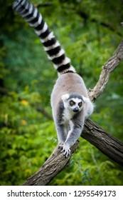 Animal photography capturing lemur. Nature shot. Lemur in natural habitat. Close up portrait of adorable lemur. Wildlife animal. Typical Madagascar species.