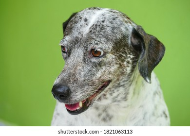 Animal portrait of July, 3 years old mixed-blood dog, mixed with Dalmatian breed, front view.