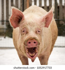 Animal portrait of laughing funny big pig outdoors.