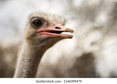 Animal portrait of ostrich bird outdoors in nature.