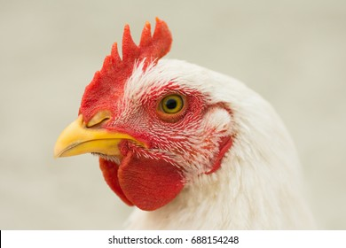 Animal portrait of white rooster on white background.