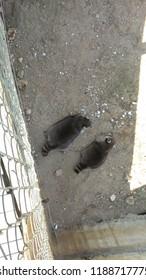 Animal raccoon in park friguia hammamet tunisia