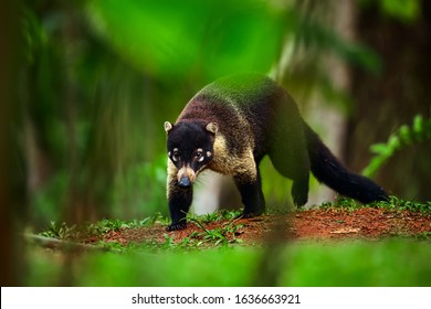 Animal from rainforest of Costa Rica. White-nosed Coati, Nasua narica. Mammal in nature habitat.