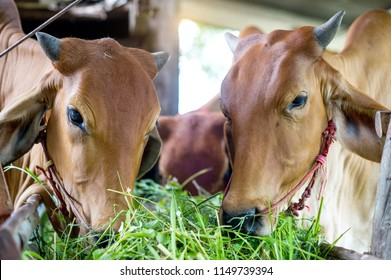 animal red cow farm agriculture