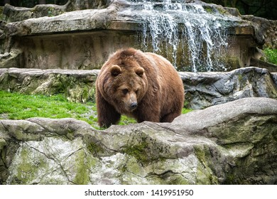 Animal rights. Friendly brown bear walking in zoo. Cute big bear stony landscape nature background. Zoo concept. Animal wild life. Adult brown bear in natural environment.