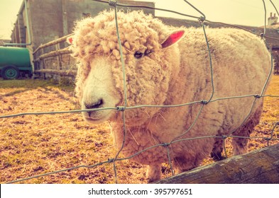Animal rights - Lonely sheep behind barbed wire fence.