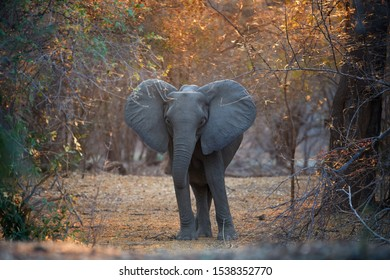 Animal scene from Mana Pools National Park. Direct view, african elephant met on walking safari. African bush elephant with outstretched ears in colorful morning light. Wildlife photography, Zimbabwe.