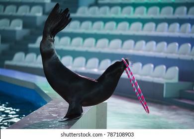 animal sea lion playing with a ball
