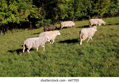 animal sheeps