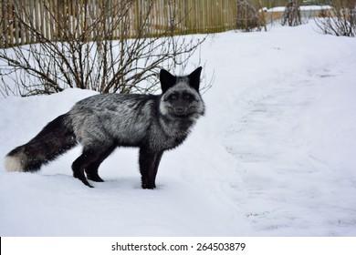 animal silver fox