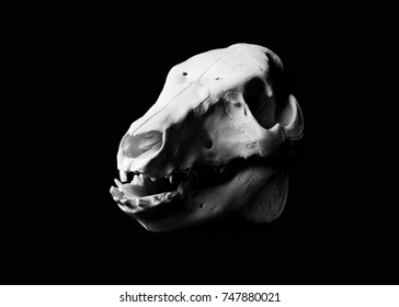 Animal Skull isolated on black background. Pig skull with black background. Scientific, forensic, and artistic photograph of life and death anatomy. Left side angle , black and white with mandible.