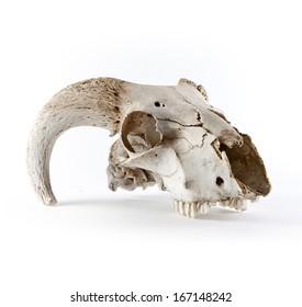 Animal skull isolated on white