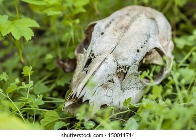 Animal skull lying in the grass