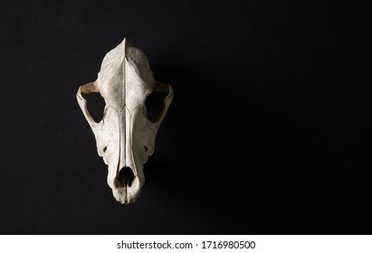Animal skull on abstrtact black background. Room for text. Witchcraft concept.