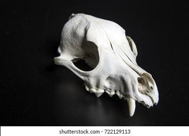 Animal Skull studio image