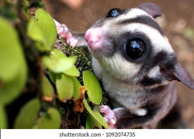 animal sugar glider photography
