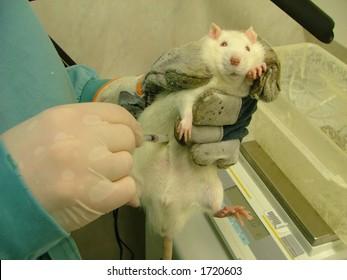 animal testing (white lab rat)