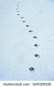 Animal tracks winding through the snow.