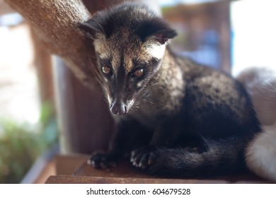 The animal, used for the production of expensive most gourmet coffee Kopi Luwak