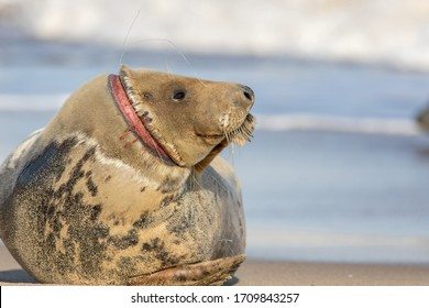 Animal welfare. Injured seal suffering from horrific neck wound by discarded fishing net line. Plastic marine pollution wildlife hazard. Sad nature image with message copy space. Horsey colony UK