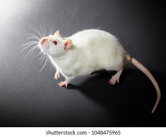animal white rat close-up on a black background