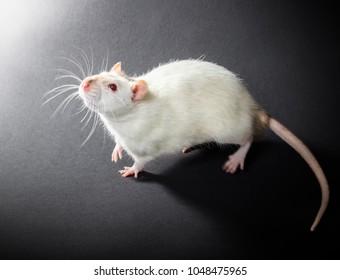 animal white rat close-up on a black background