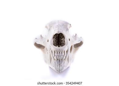 animal wild bone creepy bear skull isolated