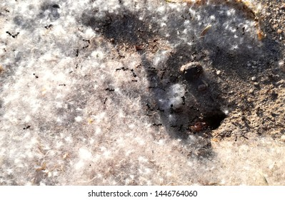 Animal World. Food delivery service. Ants with the anthill covered in pollen grain, the food in the door of the house. High concentration of pollination grain. The insect colony is working in spring.
