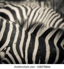 animal zebra black and white pattern texture