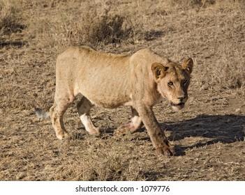 animals 033 lion.