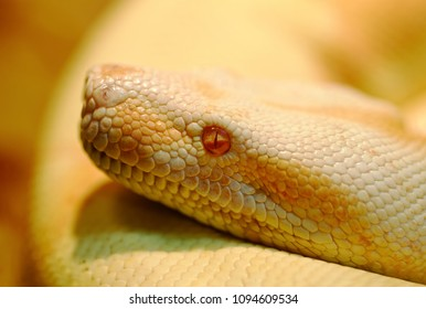 Animals: albino Indian python in a bright warm light, closeup shot