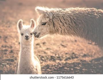 animals of the Argentine north