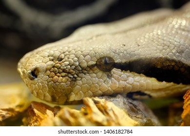 Animals: big snake portrait, close-up shot