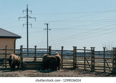 Animals in captivity. Buffaloes in the pen on the background of electrical wires.