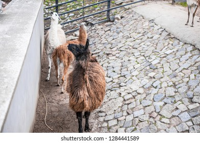 Animals in captivity. Lamas live in their aviary in an outdoor zoo in Russia