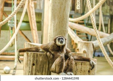 Animals in captivity. Lar gibbon live in their aviary in an outdoor zoo in Russia