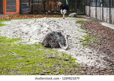 Animals in captivity. ostrich live in their aviary in an outdoor zoo in Russia