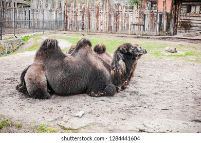 Animals in captivity. two-humped camels live in their aviary in an outdoor zoo in Russia
