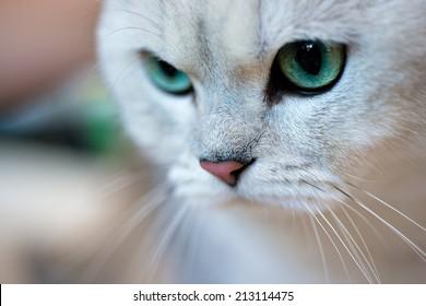 Animals: close-up portrait of British shorthair silver shaded chinchilla cat