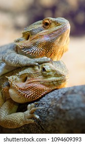 Animals: Couple of bearded dragons (Pogona vitticeps), closeup shot