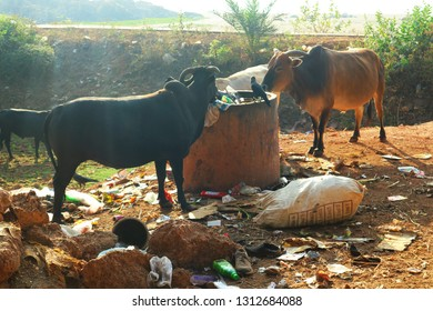 Animals: cows and birds eat out of the trash in India. Garbage problem. India, Gokarna, February 13, 2019.