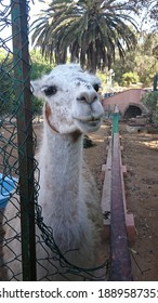 Animals and Creatures: an inquisitive llama in Moroccan Park