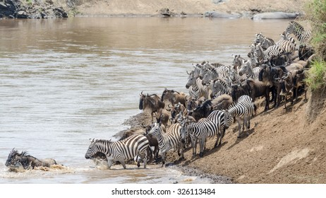 Animals  crossing the Mara River during  the great migration in Mara Triangle Kenya