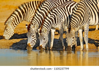 Animals drinking water. Plains zebra, Equus quagga, in the grassy nature habitat, evening light, Hwange National Park Zimbabwe. Wildlife scene from African nature. Hot summer day in Africa.