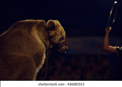 Animals exploitation concept. Close up portrait of a sad tired circus bear with leather safety stuff. Copy-space