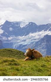 Weidetiere auf Almen an einem sonnigen Tag in den Schweizer Alpen