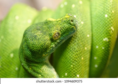 Animals: green tree python, Morelia viridis, close-up shot, selective focus