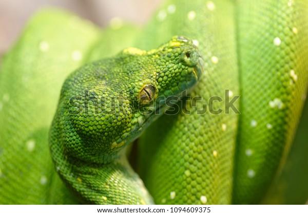 Animals: green tree python, Morelia viridis, close-up shot, selective focus