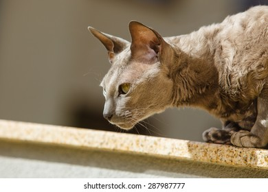 Animals at home. egyptian mau cat sitting on the balcony outdoor